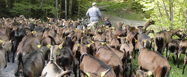 Montée-des-chèvres-en-alpages