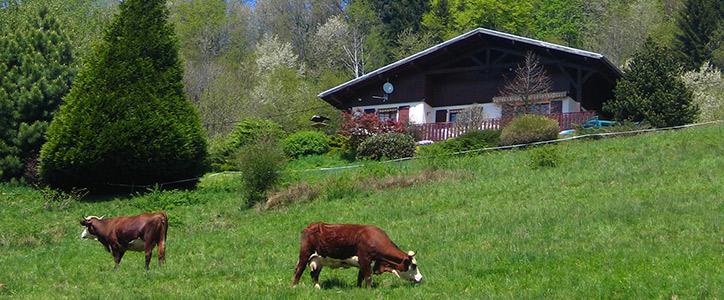 Vaches-dans-les-champs